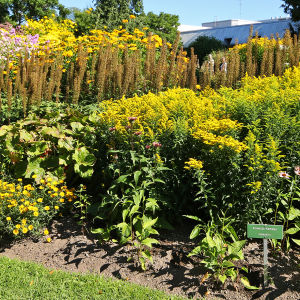 Keltaisia perennoja kukassa elokuussa Hatanpään arboretumissa Tampereella