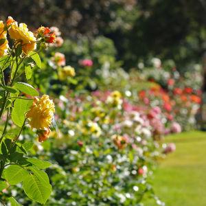 Kukkivia ruusuja Hatanpään arboretumissa Tampereella