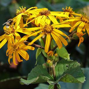 Keltainen kallionauhus kukkii elokuussa Hatanpään arboretumissa Tampereella
