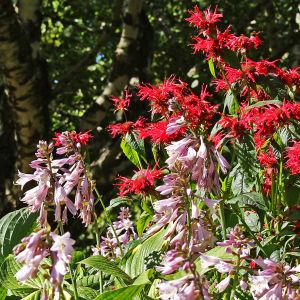 Kukkivia liljoja ja punaväriminttuja elokuussa Hatanpään arboretumissa Tampereella