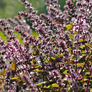 Violetti maustebasilika kukkii elokuussa Hatanpään arboretumissa Tampereella