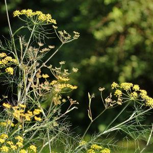 Tilliä muistuttava maustefenkoli kukkii elokuussa Hatanpään arboretumissa Tampereella