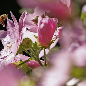 Mehiläinen laskeutumassa harmaamalvikin kukalle.