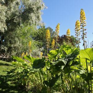 Keltaiset nauhukset kukassa, taustalla valtava hopeapaju elokuussa Hatanpään arboretumissa Tampereella
