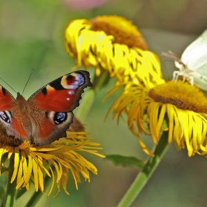 Neitoperhonen ja sitruunaperhonen auringontähden kukilla elokuussa Hatanpään arboretumissa Tampereella