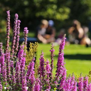 Violetti rantakukka kukkii elokuussa Hatanpään arboretumissa Tampereella, taustalla perhe piknikillä.