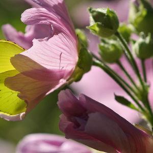 Sitruunaperhonen imee mettä malvikin kukassa