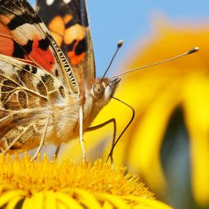 Vaeltaviin perhosiin kuuluva ohdakeperhonen imee mettä auringontähden kukalla.