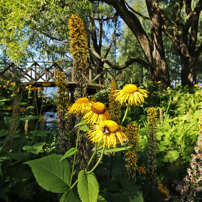 Kukkivia auringontähtiä ja nauhuksia Hatanpään arboretumissa Tampereella