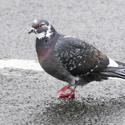 Tamduva står på asfalten