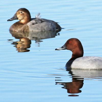 Ett brunandspar simmar brevid varandra.