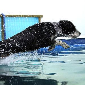 Koira loikkaa veteen uimahallissa