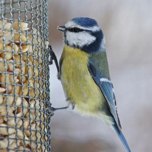 sinitiainen talviruokintapaikalla