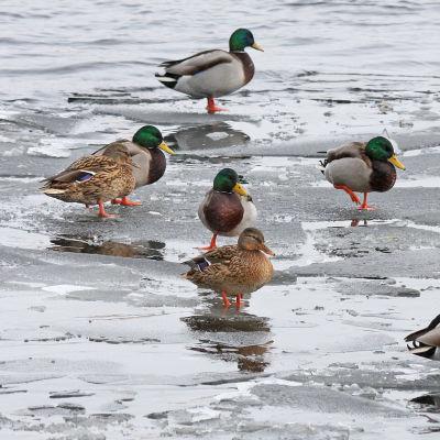 Sinisorsia talvella jäällä.