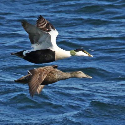 Två flygande ejdrar, en hanne och en hona.
