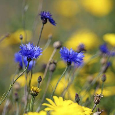 Sinisiä ja keltaisia kukkia kedolla