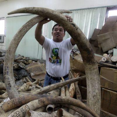 Norsun syöksyhampaita esiteltiin varastossa Filippiineillä vuonna 2012. Mukana oli lähes kahden miljoonan euron arvosta syöksyhampaita Tansaniasta.