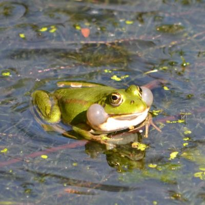 En grön groda har blåst upp sina kindpåsar och sitter i lite vatten som har en hel del sjögräs i sig.
