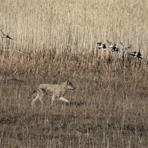 Susi kävelee pellolla