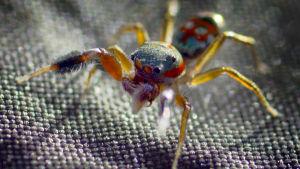 hyppyhämähäkki