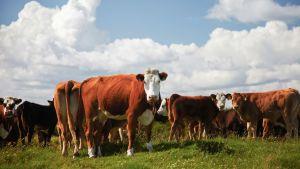 Irländska kor på ett fält
