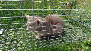 En grå kattunge i en bur.