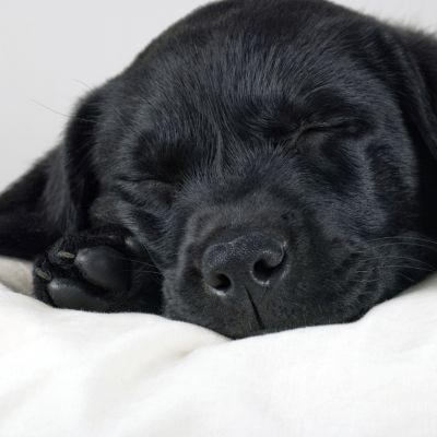 Labrador retrivervalp