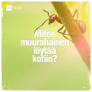 Kuvituskuva: muurahainen.