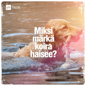 Kuvituskuva: koira vedessä.