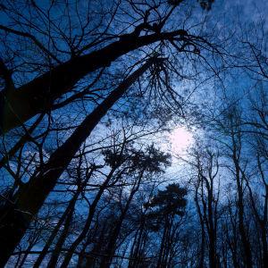 blåaktigt månljus med en masas mörka träd