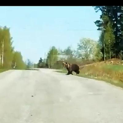 Karhu ylittämässä tietä. Kuvakaappaus videolta.