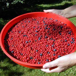 Lingon och blåbär i ett rött handfat.