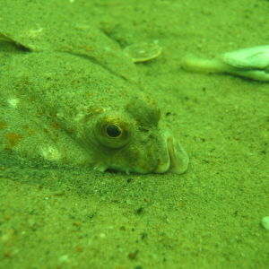 När syret minskar på havsbottnen lider flundran. Fiskarna är de djur som är känsligast för syrefattigt vatten.