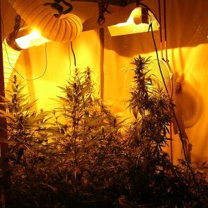 Cannabisodling