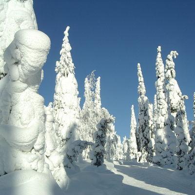 Upplega på träd i Kuusamotrakten.