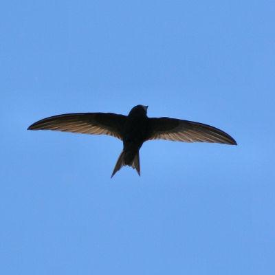 En flygande tornseglare