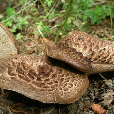 Kolme suomuorakas -sientä