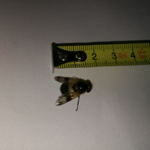 Vad är dessa stora insekter och är de vanliga? undrar Lionel 2 år och mamma Jessica.