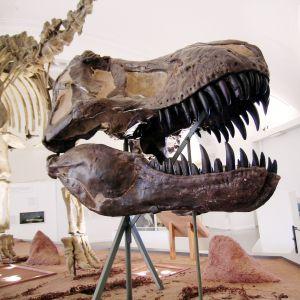 Tyrannosaurus rexin pääkallo Luonnontieteellisessä museossa