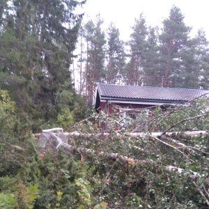 Omkullblåst träd på ett växthus i Kvevlax.