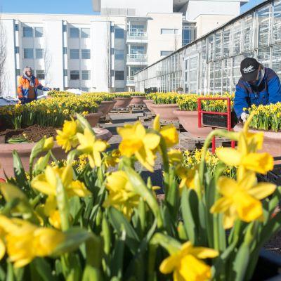 Kevätnarsisseja istutetaan suuriin ruukkuihin Tampereen kaupungin puutarhan pihamaalla.