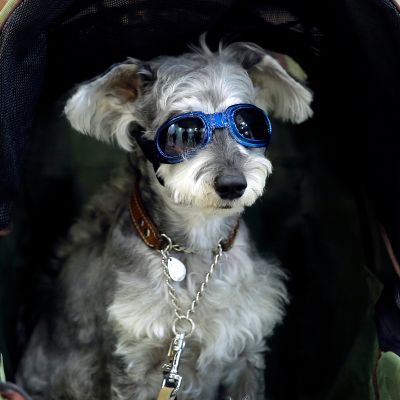 Koira istuu aurinkolasit päässä lastenvaunuissa.