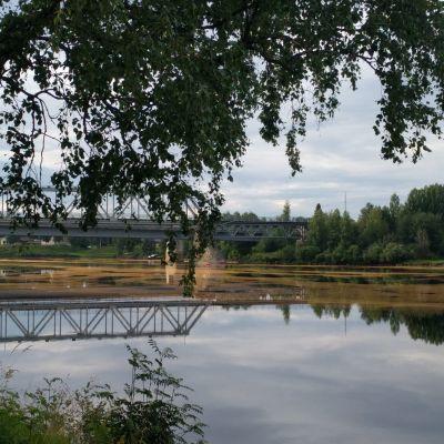 Suopursuruosteen aiheuttamaa itiöpölyä Kemijoessa Rovaniemellä.