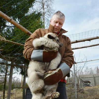 Markku Harjulla on pitelemistä Villieläinhoitolaan päätyneessä jättiläisketussa