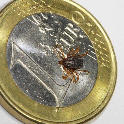 Hyalomma marginatum -punkki euron kolikon päällä