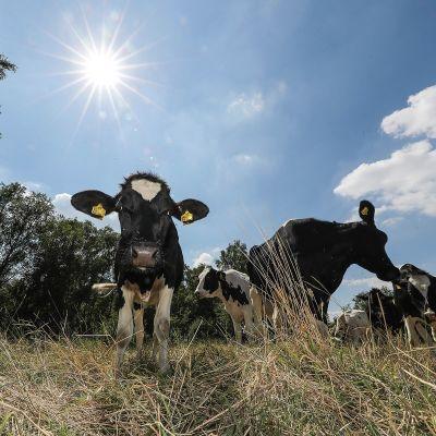 lehmiä kuivuneella pellolla