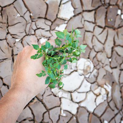 puun taimi ja käsi, taustalla halkeillutta maata