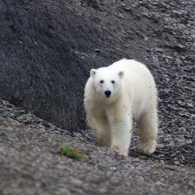 Jääkarhu Novaja Zemljalla