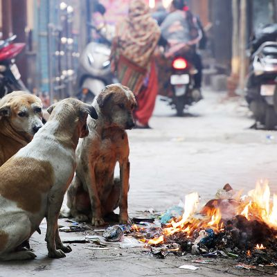 Katukoirat lämmittelivät nuotion ääressä Amritsarissa, Intiassa 10. helmikuuta. Alueella kärsitään kylmästä ja tuulisesta säästä.