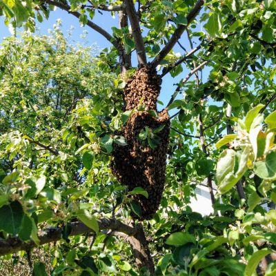 Mehiläisparvi asettuneena puuhun